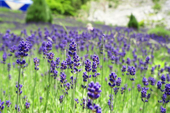 花追い人おすすめ! 夏に行きたい福島県内の花スポット5選