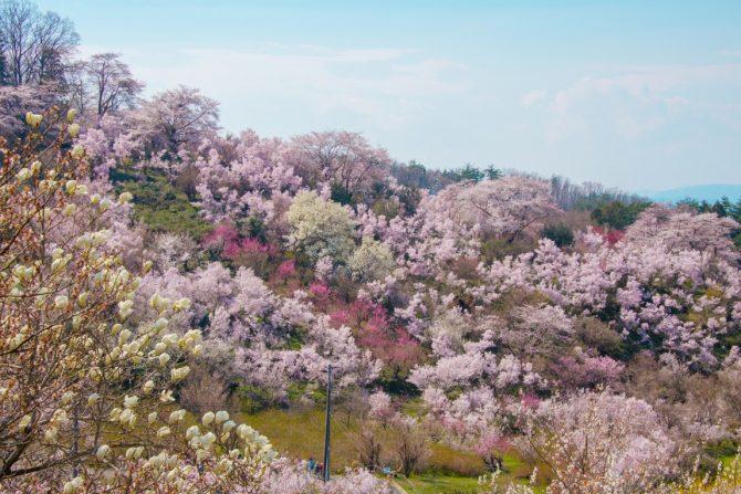 春の福島観光にオススメしたい桜の名所「花見山公園」