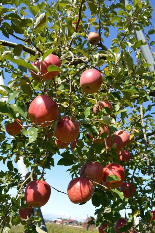 りんごの木オーナー制度