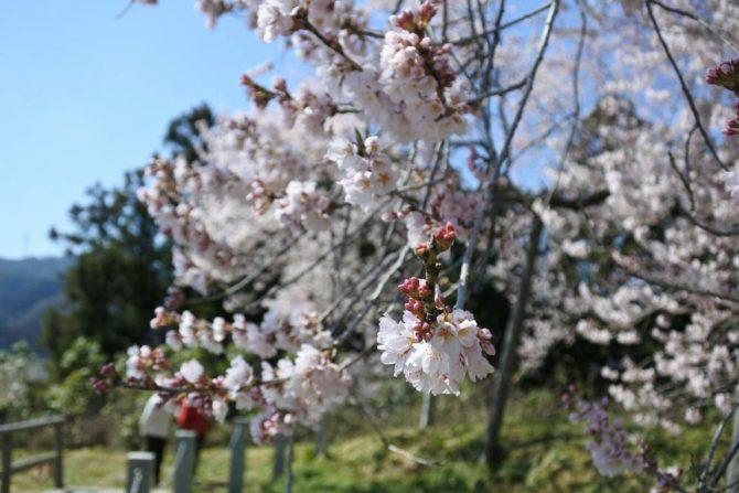 東京からも近い白河市周辺の桜前線速報!お花見スポットを一挙にご紹介