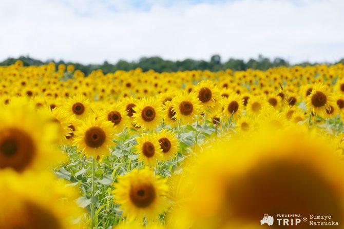 夏の最後の思い出に、黄金色に染まる「三ノ倉高原」他《週刊福島TRIP 8/24~8/28》