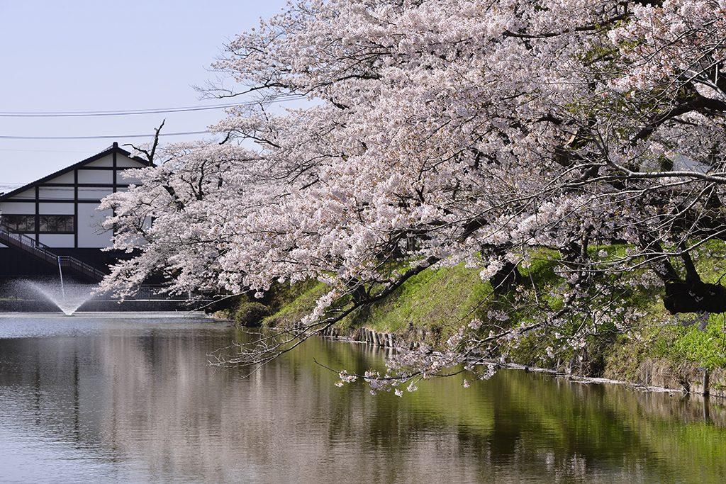 馬陵公園の桜
