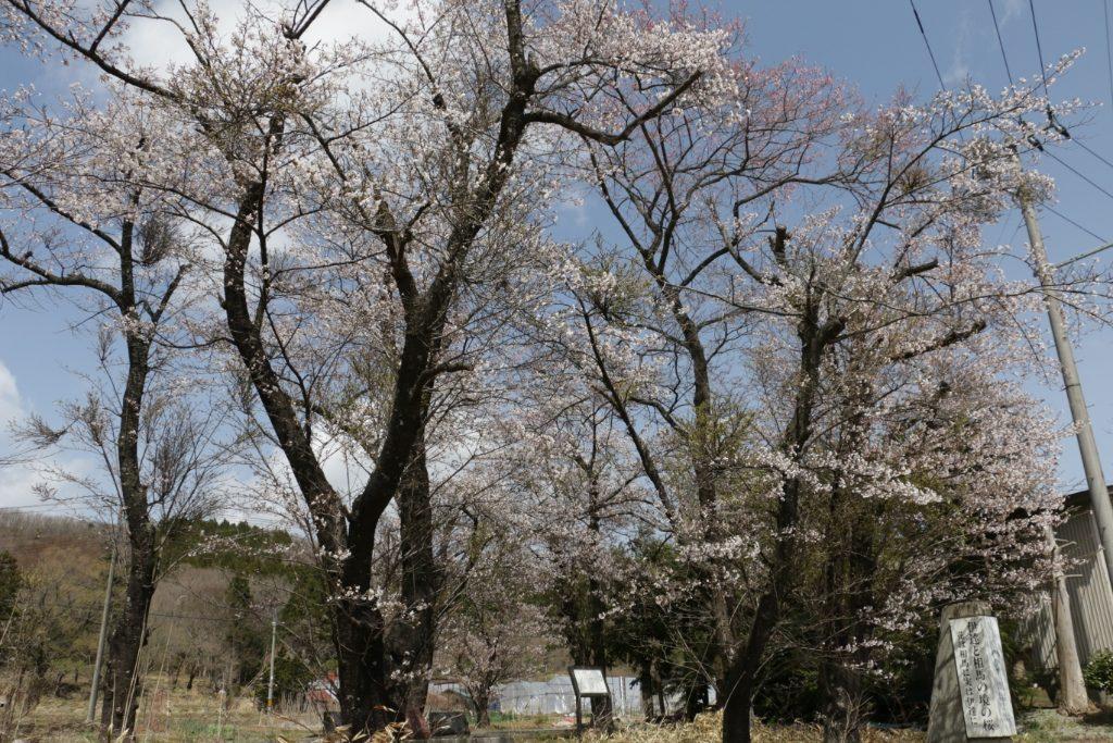 伊達と相馬の境の桜