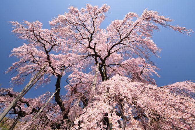 【2019年版】お花見シーズン目前!必見・郡山市内の桜の名所7選+2(桜の名所MAPつき)