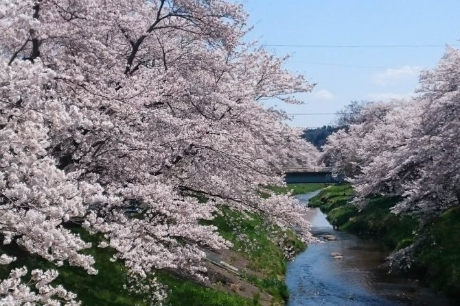 桜を見逃しても福島ならまだ間に合う!メジャーから穴場のお花見スポット紹介
