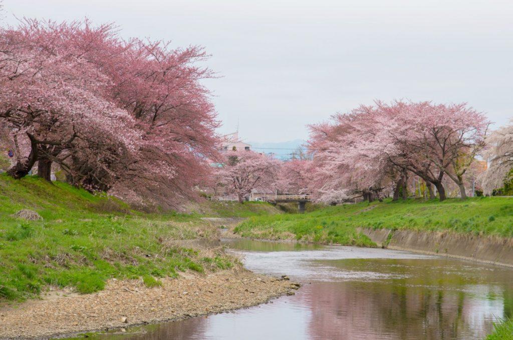 逢瀬川の桜並木