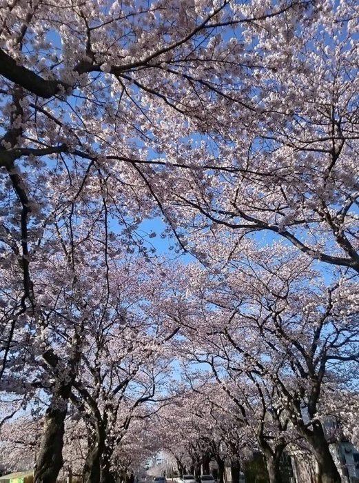 富岡町夜ノ森(よのもり)の桜並木