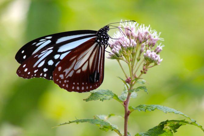 """この夏、""""海を越えて旅する蝶"""" アサギマダラに会いに裏磐梯・デコ平へ"""