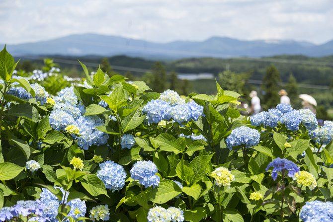 紫陽花で世界一、そして日本一辛い村!? 知る人ぞ知る平田村の魅力