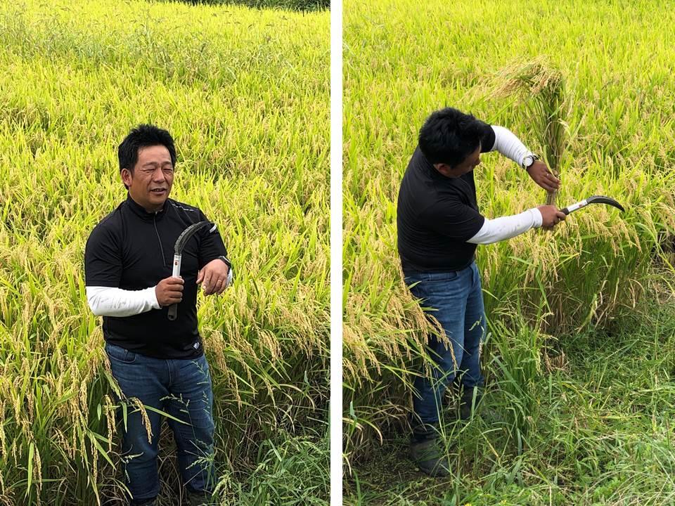 稲刈り・丹野さん指導
