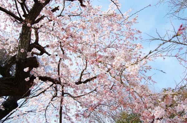 信夫山公園の桜