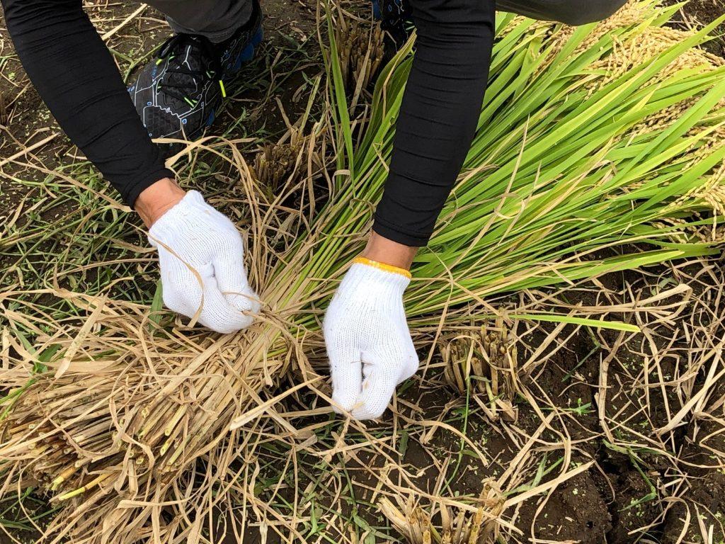 刈った稲を縛る
