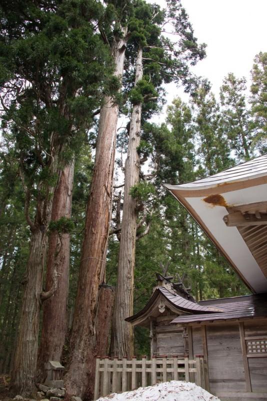 高倉の大杉