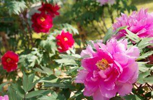 ピンク牡丹