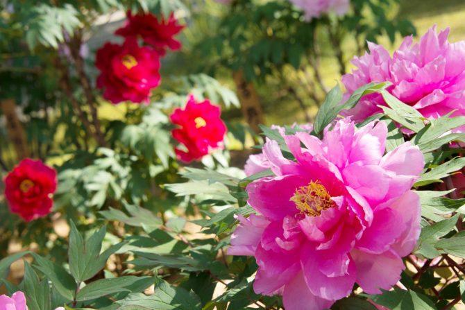 国民的作家・吉川英治も惚れ込んだ7000株の牡丹が咲き誇る須賀川牡丹園