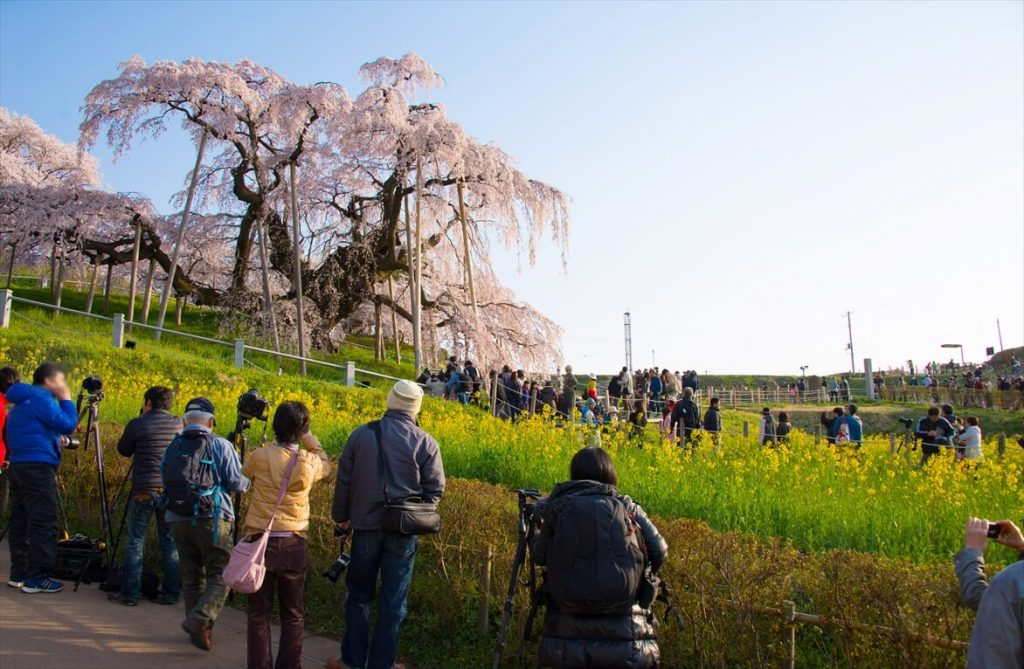 三春滝桜と観光客
