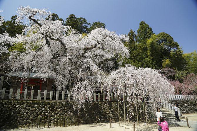 福島はこれから!桜前線まもなく到着♪いわき近郊のお花見スポット【桜の名所MAP更新】