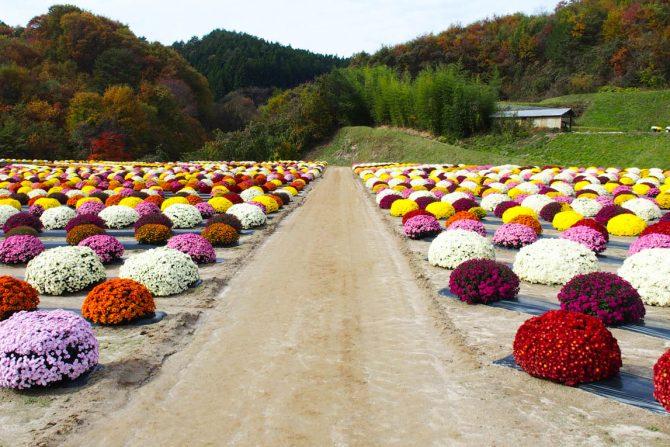 今が見ごろ!2500株のざる菊がこ〜んもりと彩る「菊の里ときわ」