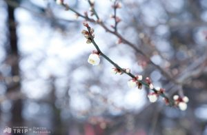 Winter ume_ft1