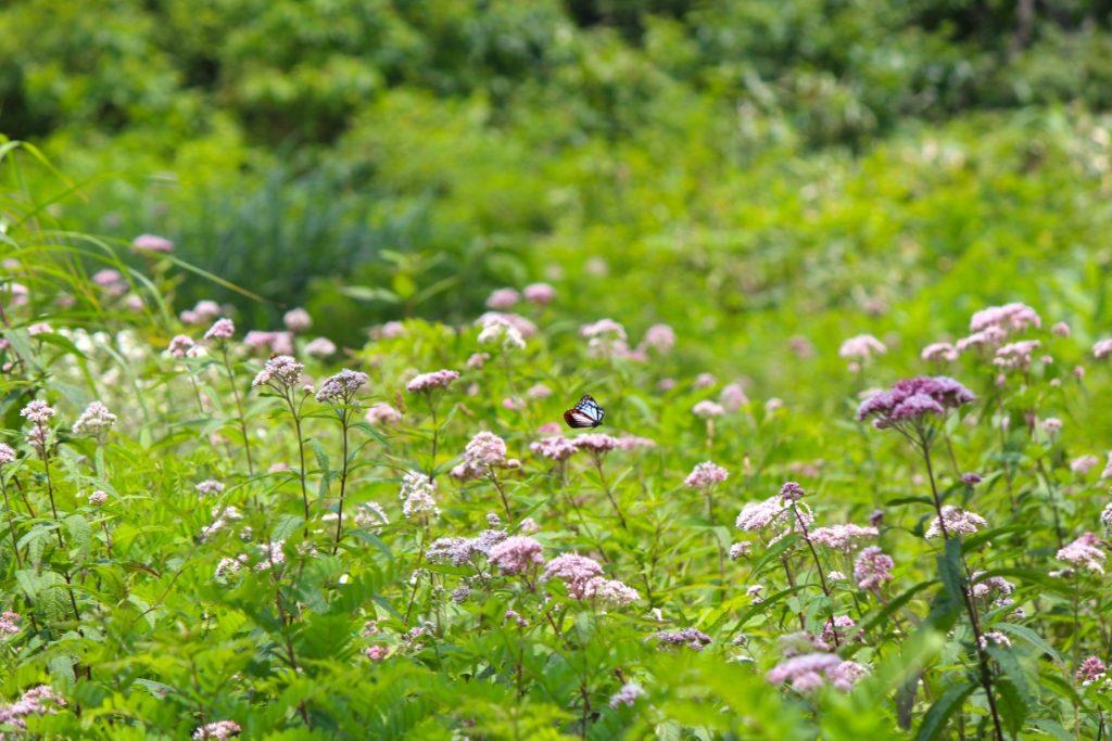 花畑の上のアサギマダラ