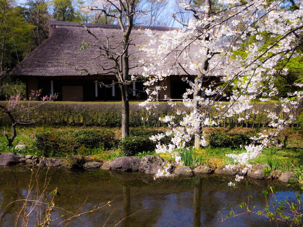 桜(4月中旬)