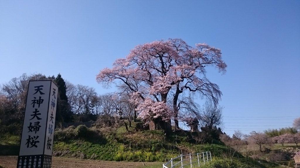 天神の夫婦桜